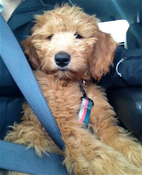 goldendoodle puppy for sale in mn goldendoodle breeders in minnesota cedar farms