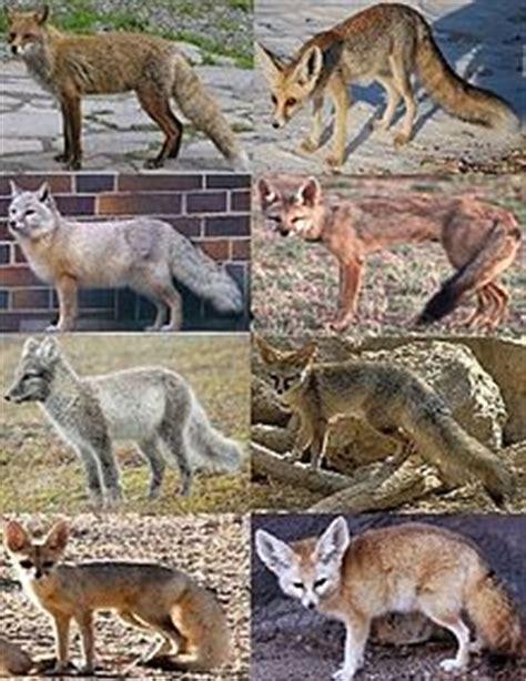 arctic fox wikipedia the free encyclopedia vulpes wikipedia