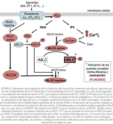 cadenas musculares scielo bases moleculares de la erecci 243 n