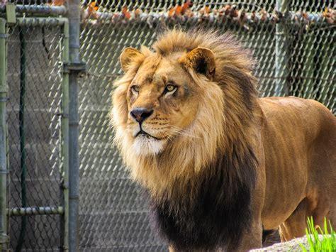 imagenes de leones en zoologico kostenloses foto l 246 we zoo zootiere m 228 hne k 246 nig