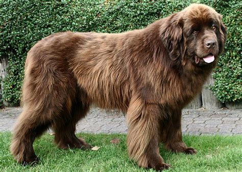 large dogs the breeds pt 2