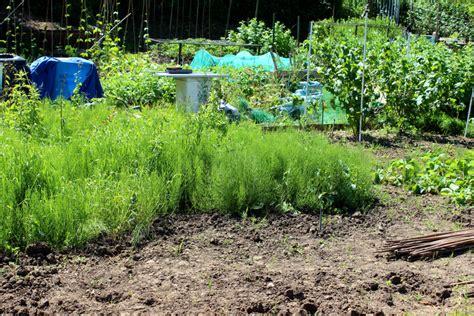 schachtelhalm im garten schachtelhalm pflanzen 187 standort pflanzabstand und mehr