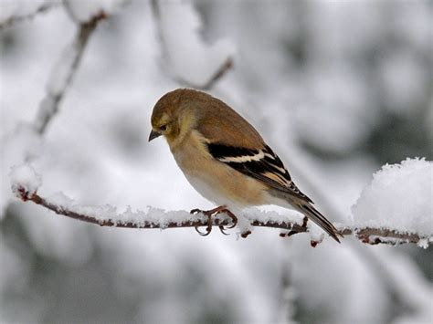 goldfinch in winter natural world of maryland pinterest