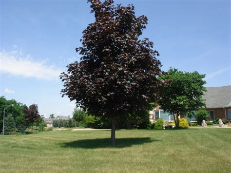 crimson maple tree maple archives affordable trees