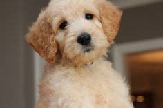 goldendoodle central golden doodles goldendoodles san francisco area