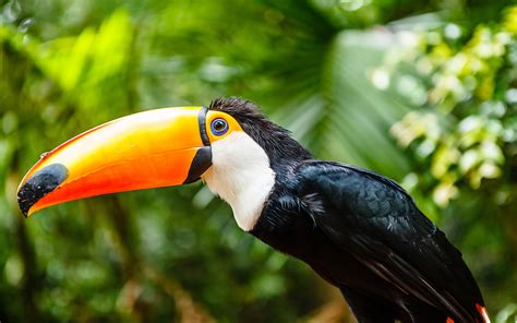 tucan  orange beak wallpaper hd widescreen wallpaperscom