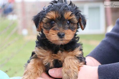 yorkie poo for sale in greensboro nc yorkiepoo yorkie poo puppy for sale near greensboro carolina 2d576c9a 69c1