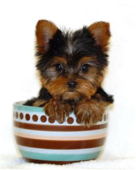 how big are teacup yorkies what makes a terrier a teacup yorkie yorkiepassion