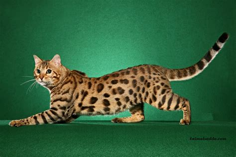 bantal cat bengal cat facts pictures information rescue
