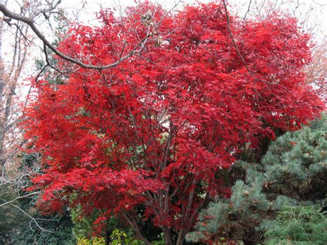 missouri maple trees japanese maple traditional landscape st louis by