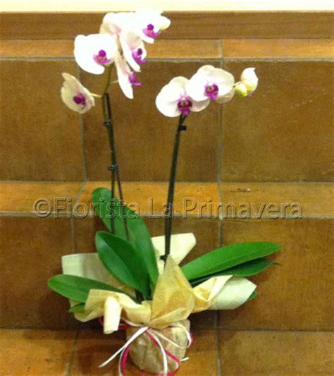 come si curano le orchidee in vaso piante di orchidee get cheap piccola pianta di