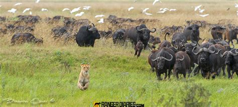 Buff Natgeo Africa 1407030 top 25 photographs from the wilderness 21 national geographic