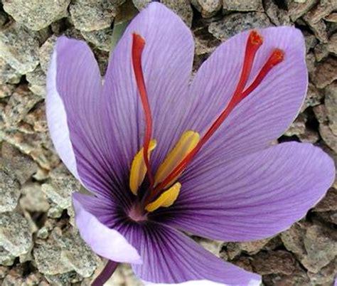 fiore zafferano zafferano coltivazione propriet 224 uso in cucina dello