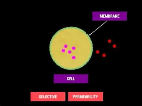cell membrane  selective permeability youtube