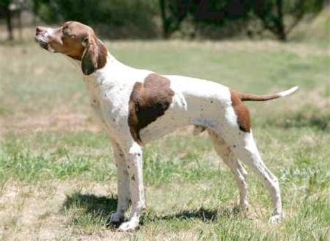 pointers dogs pointer breed photos information