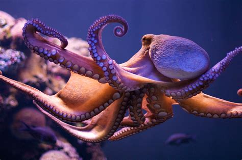 what color are octopus this octopus change colour in a totally