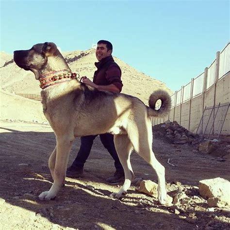 turkish kangal puppies кангал turkish kangal kangal attack anatolian shepherd