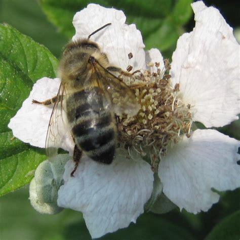 Italian Honey Bee Royal Jelly