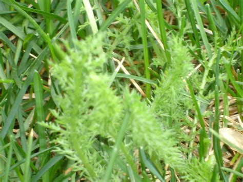 what is this in lawn crabgrass mowing weeds how to