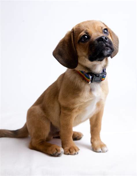 pug puggle mix puggle boxer mix www imgkid the image kid has it