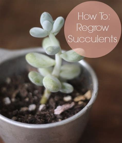How To Propagate Succulents Sunset - 32 best aloes images on aloe cacti and plants