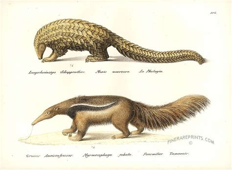 pangolin scaly anteater