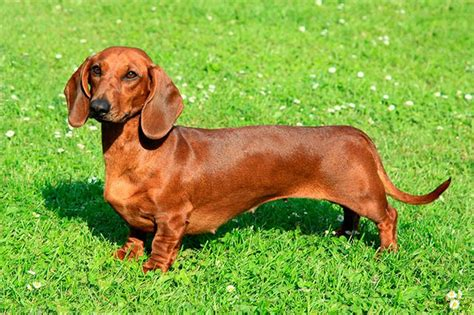 wiener breed what is a wiener cuteness