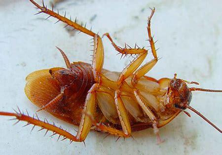 scarafaggio senza testa per quanto tempo vivono gli scarafaggi senza cibo senza
