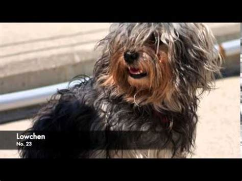 What Of Does Not Shed Hair by 38 Breeds Of Non Shedding Dogs