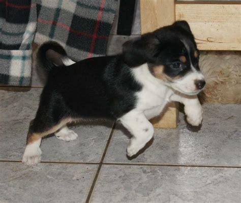 chihuahua yorkie beagle mix pin chihuahua beagle mix on