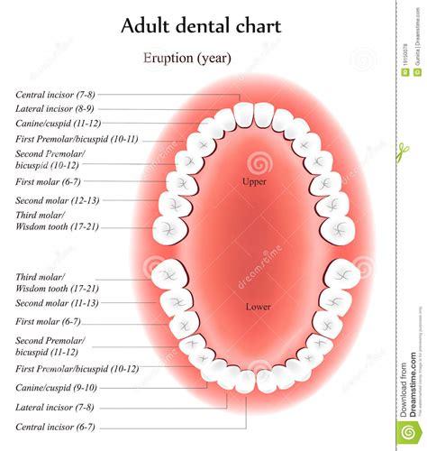 004307474x a tempo partie orale anatomia adulta dos dentes fotos de stock royalty free