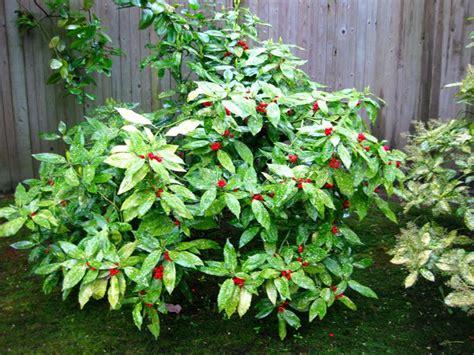 cespugli fioriti perenni resistenti al freddo aucuba japonica aucuba japonica piante da giardino