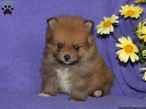 teacup puppies for sale in pa 22 best images about pomeranians on