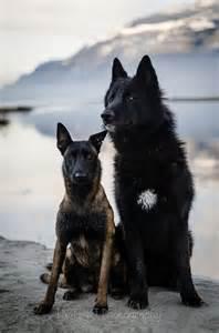 belgian shepherd wolf hybrid a malinois and maybe a wolf dog hybrid gorgeous dogs