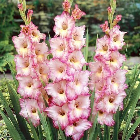 gladioli fiori 25 best ideas about gladioli on flowers