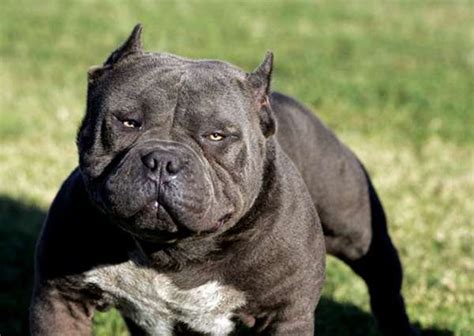Pit Bull Breeds Also Search For Pit Bull Breeds Types Quotes Different Pitbull Dogs Litle Pups