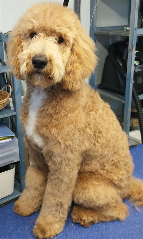 goldendoodle hair types types of goldendoodle haircuts google search pretty
