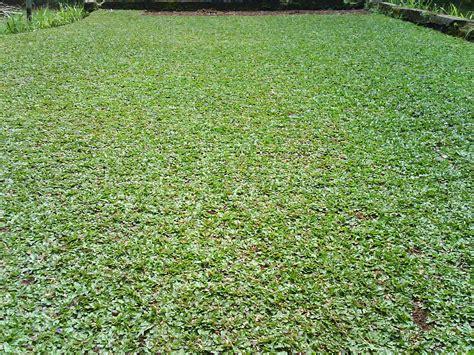 Tanaman Hias Rumput jenis rumput gajah tanaman berguna
