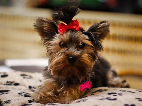 summer cuts for yorkie poos 25 marvelous yorkie poo pictures allnewhairstyles 174