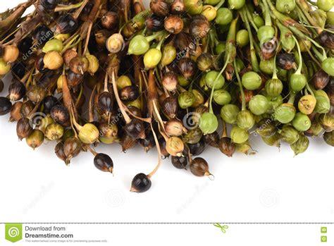 whole grain s tears adlay adlay millet s tears millet coix lachryma