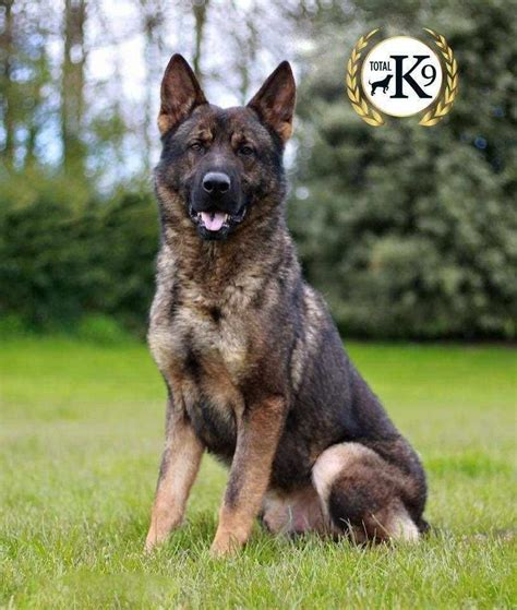 personal protection dogs dogs for sale total k9