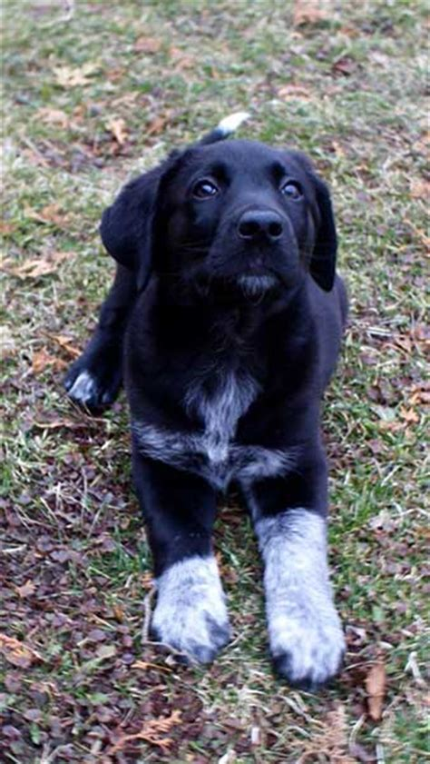 australian shepherd lab mix puppy is the australian shepherd lab mix really one of the best hybrids in the world