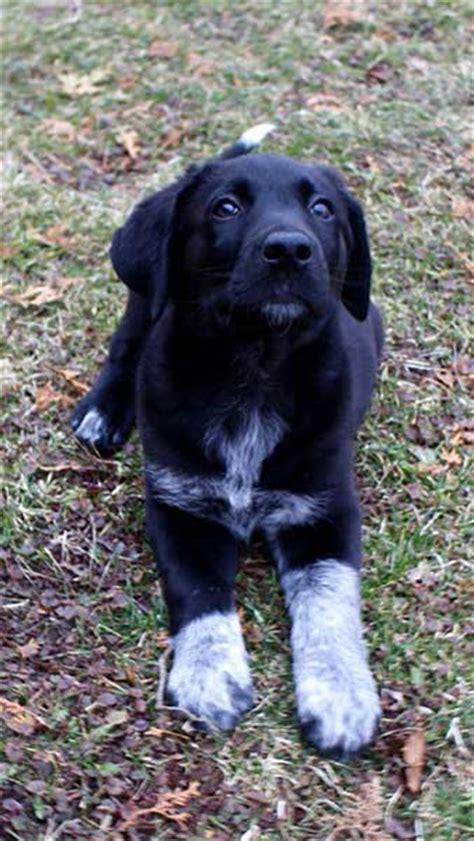 black lab australian shepherd mix puppy is the australian shepherd lab mix really one of the best hybrids in the world