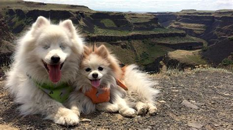 Blind Friend This Pomeranian Adorably Guides His Blind Best Friend
