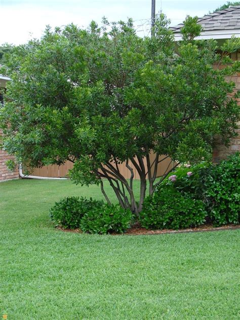 small backyard trees 86 best shade trees images on pinterest shade trees gardening and plants
