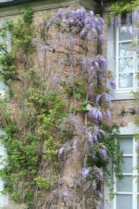 blauwe regen kopen boskoop plantenwinkel wisteria sinensis prolific www esveld nl