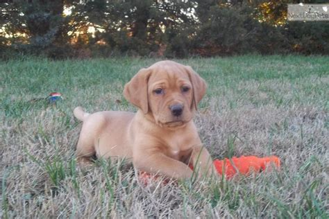 lab puppies for sale in kansas free akc lab puppies 2013 breeds picture