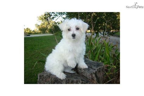 Maltese Shedding Hair by Teacup Non Shedding Breeds Breeds Picture