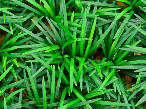 ophiopogon nanus mondo grass dwarf diacos garden nursery