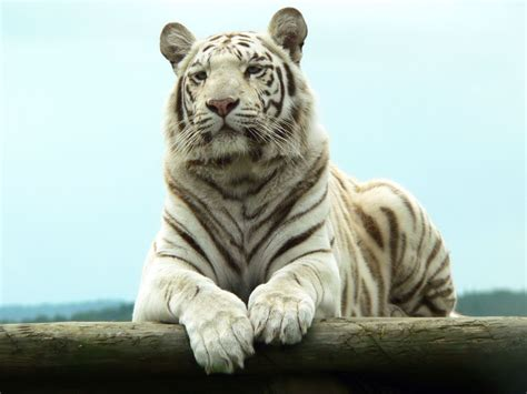 wallpaper macan hitam the animal wildlife harimau putih white tiger